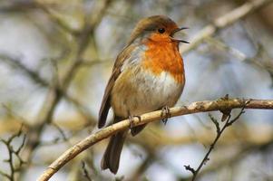 fåglar - robin / rudzik raszka foto