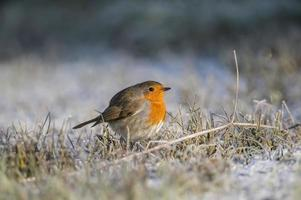 Robin, rödbröd, erithacus rubecula, ligger på frostigt gräs