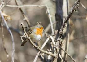 erithacus rubecula, Robin foto