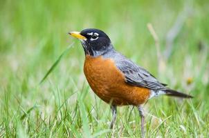 american robin (turdus migratorius) foto