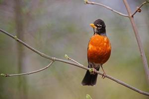 amerikansk robin foto