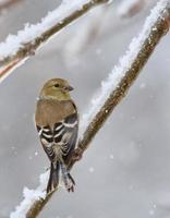 amerikansk guldfinch, carduelis tristis foto