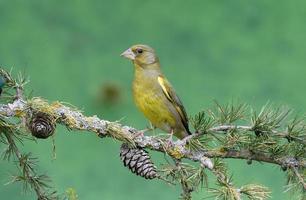greenfinch, carduelis chloris foto