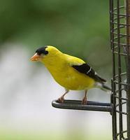 amerikansk guldfink foto