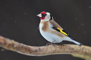 guldfink på en kvist foto