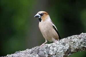 hawfinch, coccothraustes coccothraustess foto
