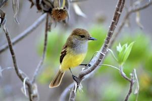 liten trädfink - santa cruz ö - galapagos 2 foto