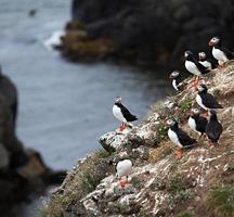 lunnefåglar på isländsk klippa