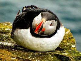 lunnefågel som sitter på en klippa