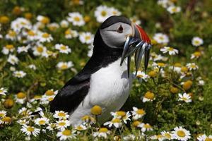 lunnefågel med sandor som går genom blommor