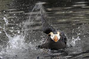 alaska tuftad lunnefågel foto