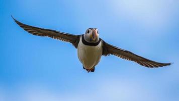 lunnefågel under flygning foto