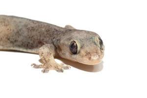 en liten geckoödla foto