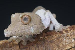 blad-tailed gecko / uroplatus henkeli