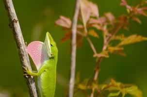 gecko foto
