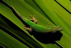 färgglada gekko