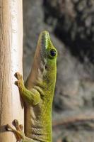 kochs gigantiska daggecko (phelsuma madagascariensis kochi) foto