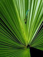 gekko på palmträdblad