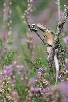 viviparous ödla eller vanlig ödla, zootoca vivipara foto