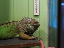 grön iguanaholding klo för mänskligt finger foto