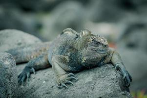 iguanor i san cristobal galapagosöarna foto