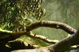 ödla som gömmer sig i ett träd foto