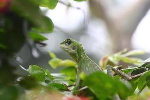grön krönad ödla som letar efter mat foto