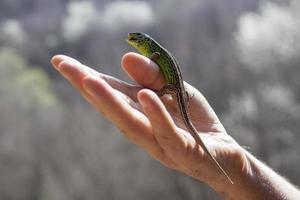 grön ödla på handen foto