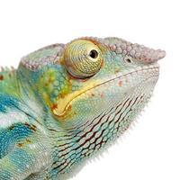 ung panter kameleont furcifer pardalis - ankify (8 månader) foto