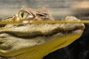 krokodil i vatten foto