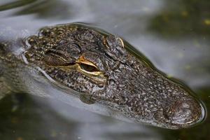 amerikansk alligator foto
