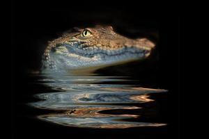 porträtt alligator foto