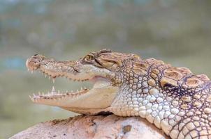närbild av ung alligator foto
