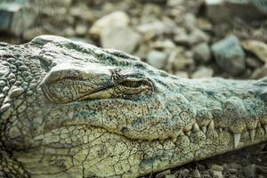 krokodil närbild öga stängs foto