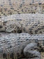 krokodil i zoo foto