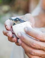 krokodil lever ägg i mänskliga händer foto