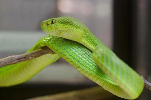 grön grop huggorm