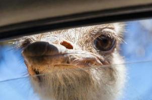 vild struts drar näbben in i fönstret foto