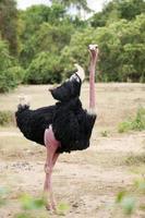 vild afrikansk struts foto