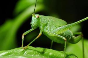 liten cricket foto