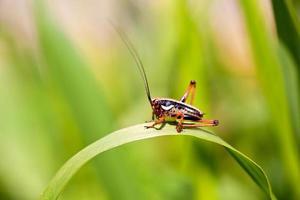 gräshoppa på blad foto