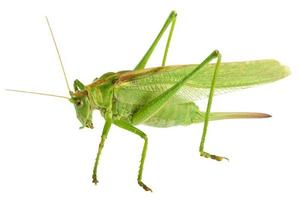 gräshoppa isolerade - tettigonia viridissima foto