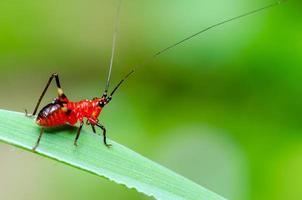 conocephalus melas liten röd cricket foto