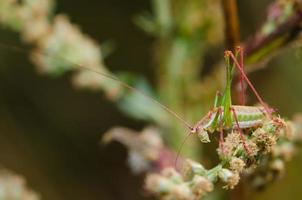 grön gräshoppa poserar för på blommor