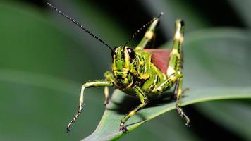 makro brasiliansk gräshoppa (frontal)