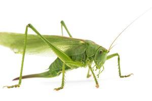 grön gräshoppa foto