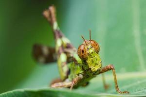 kort horn gräshoppa