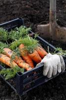 plocka morötter. lappgrönsak foto