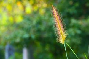 gräs flödar foto