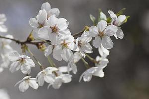 körsbärsblomning på våren foto